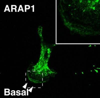 Immunocytochemistry/ Immunofluorescence - Anti-ARAP1 antibody (ab5912)