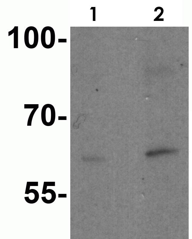 Western blot - Anti-IL-21R antibody (ab5980)