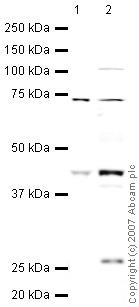 Western blot - Anti-TMEFF2 antibody (ab50002)