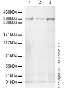 Western blot - Anti-NG2 antibody [132.38] (ab50009)