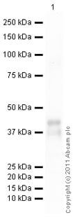 Western blot - Recombinant Human CCN3 protein (ab50076)