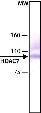 Western blot - Anti-HDAC7 antibody [HDAC7-97] (ab50212)