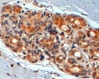 Immunohistochemistry (Formalin/PFA-fixed paraffin-embedded sections) - Anti-Wnt3 antibody (ab50341)