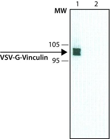 Western blot - Anti-VSV-G tag antibody [P5D4] (ab50549)