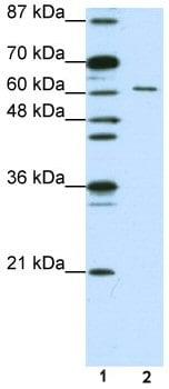 Western blot - Anti-Elav-type RNA-binding protein ETR3 antibody (ab50734)
