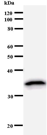 Western blot - Anti-eIF4A3 antibody [2256C1] (ab50741)