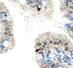 Immunohistochemistry (Formalin/PFA-fixed paraffin-embedded sections) - Anti-NOL6 antibody (ab50875)