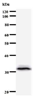 Western blot - Anti-TFAP4 antibody [961C5a] (ab50881)
