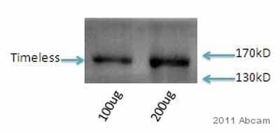 Western blot - Anti-Timeless antibody (ab50943)