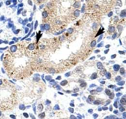 Immunohistochemistry (Formalin/PFA-fixed paraffin-embedded sections) - Anti-Zfp57 antibody (ab50944)
