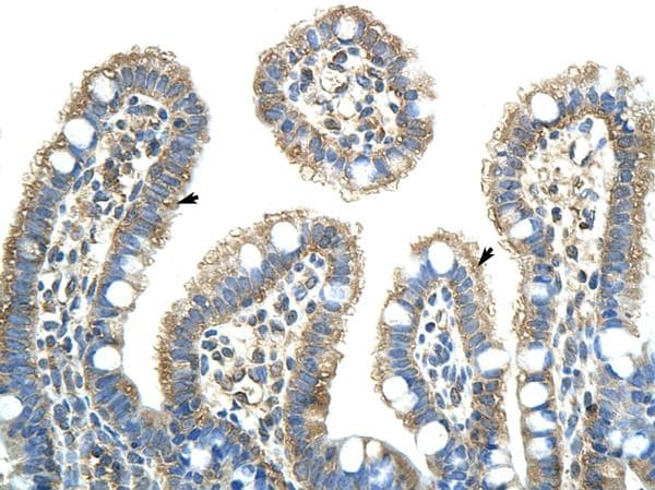 Immunohistochemistry (Formalin/PFA-fixed paraffin-embedded sections) - Anti-NXF5 antibody (ab50954)
