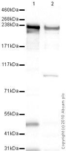 Western blot - Anti-heavy chain cardiac Myosin antibody [BA-G5] (ab50967)