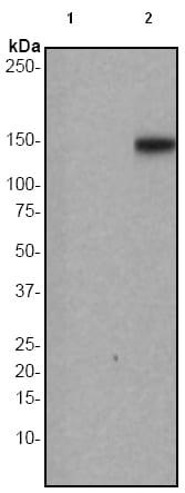 Western blot - Anti-PLCG 2 (phospho Y759) antibody [EP1406Y] (ab51020)