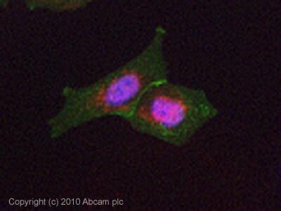 Immunocytochemistry/ Immunofluorescence - Anti-CTNNA1 antibody [EP1793Y] (ab51032)