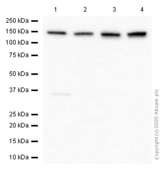 Western blot - Anti-pan Cadherin antibody [EPR1792Y] - Intercellular Junction Marker (ab51034)