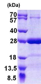 SDS-PAGE - Recombinant Human SNAP25 protein (ab51048)