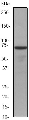 Western blot - Anti-Hsc70 antibody [EP1531Y] (ab51052)