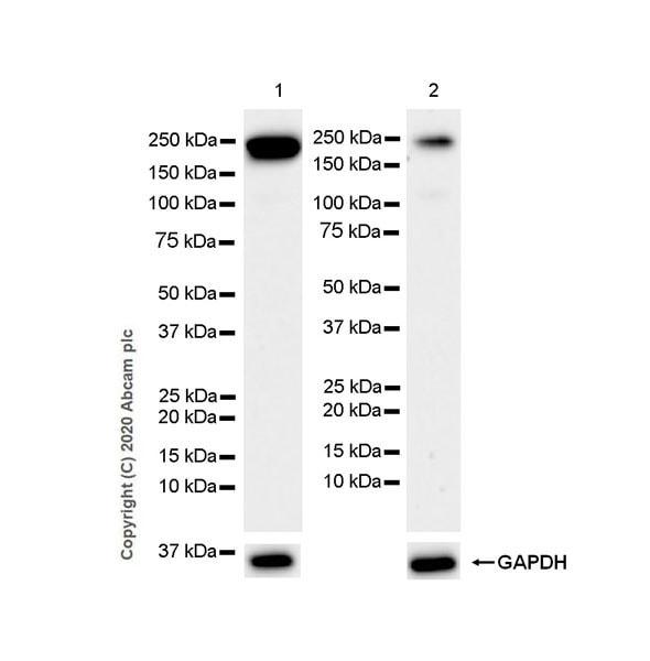 Western blot - Anti-Met (c-Met) antibody [EP1454Y] - N-terminal (ab51067)