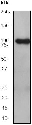 Western blot - Anti-MLK3 antibody [EP1460Y] (ab51068)