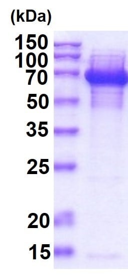 SDS-PAGE - Recombinant DnaK protein (ab51121)