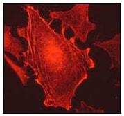 Immunocytochemistry/ Immunofluorescence - Anti-CAB39/MO25 antibody [EP1680Y] (ab51132)