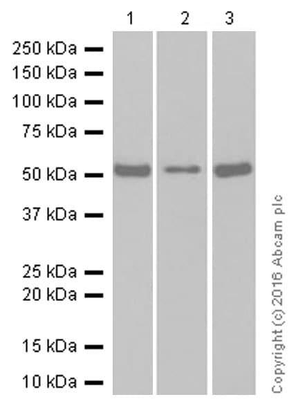 Western blot - Anti-Serine/threonine-protein kinase 4/MST-1 antibody [EP1465Y] (ab51134)