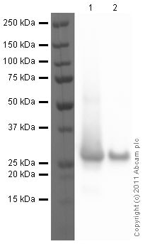 Western blot - Recombinant Human PARK7/DJ1 protein (ab51198)