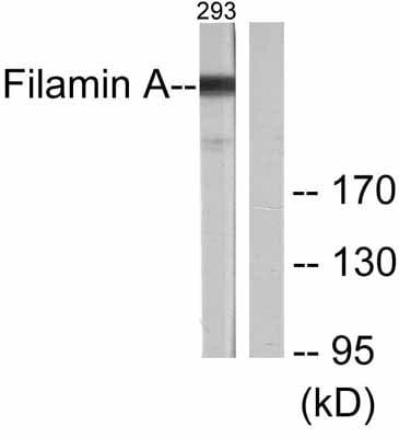 Western blot - Anti-Filamin A antibody (ab51217)