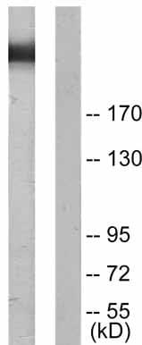 Western blot - Anti-Filamin A (phospho S2152) antibody (ab51229)