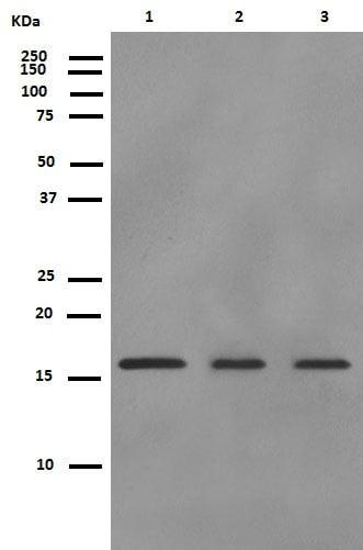Western blot - Anti-p16 ARC antibody [EP1551Y] (ab51243)