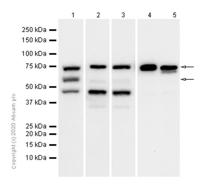 Western blot - Anti-PRC1 antibody [EP1513Y] (ab51248)