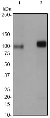 Western blot - Anti-PKD2 (phospho S876) antibody [EP1496Y] (ab51251)