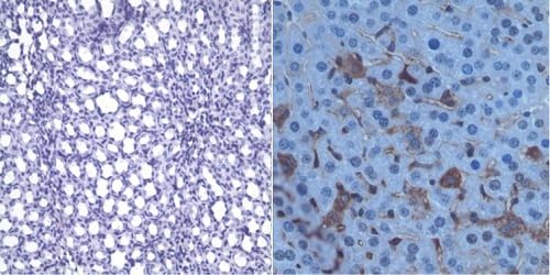 Immunohistochemistry (Formalin/PFA-fixed paraffin-embedded sections) - Anti-Polyethylene glycol antibody [PEG-B-47] (ab51257)