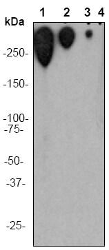 Western blot - Anti-Polyethylene glycol antibody [PEG-B-47] (ab51257)
