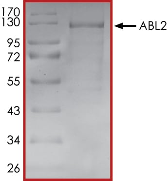 SDS-PAGE - Recombinant human ABL2 protein (ab51259)