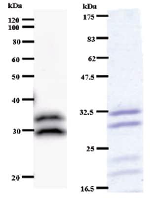 Western blot - Anti-C14orf172 antibody [C145I165] (ab51272)