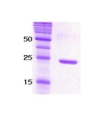 SDS-PAGE - Recombinant <em>C. elegans</em> SNAP25 protein (ab51291)