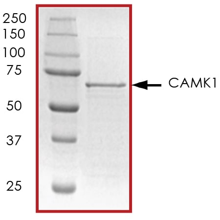 SDS-PAGE - Recombinant mouse CaMKI protein (ab51398)