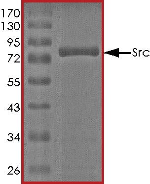 SDS-PAGE - Recombinant human Src protein (ab51424)