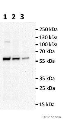 Western blot - Anti-TIP49A antibody [2943C1a] (ab51500)