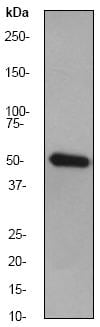 Western blot - Anti-ZIP Kinase antibody [EPR1636Y] (ab51602)