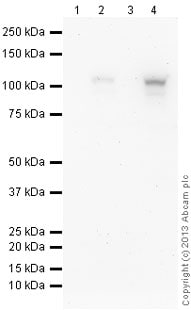 Western blot - Anti-HIF-1 alpha antibody [EP1215Y] (ab51608)