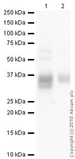 Western blot - Anti-Surfactant Protein A/PSAP antibody [6F10] (ab51891)