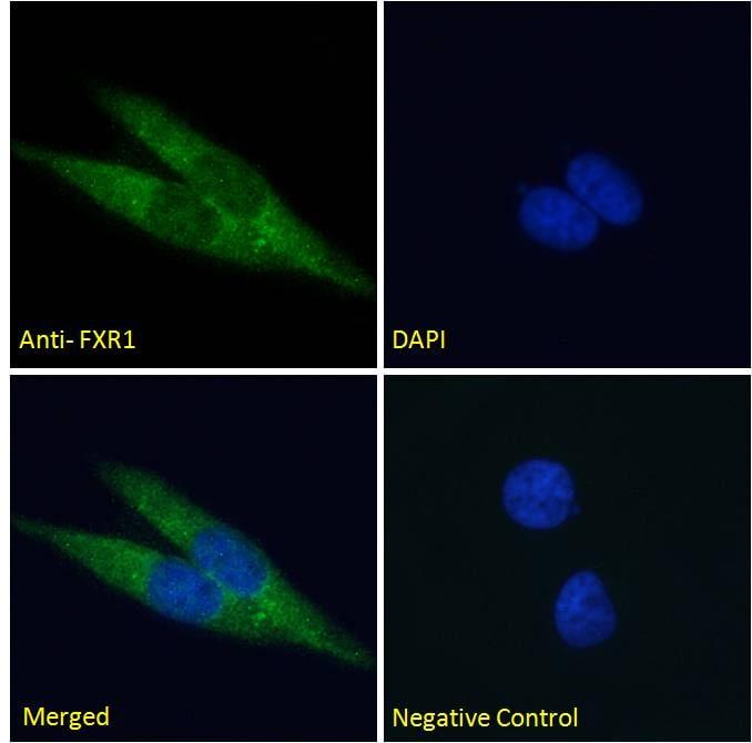 Immunocytochemistry - Anti-FXR1 antibody (ab51970)