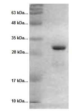 SDS-PAGE - Recombinant RFP protein (ab51993)