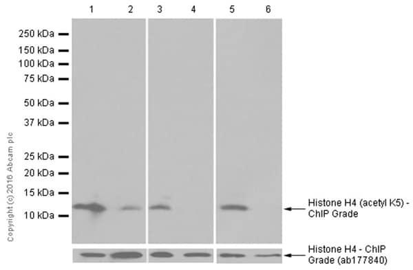 Western blot - Anti-Histone H4 (acetyl K5) antibody [EP1000Y] - ChIP Grade (ab51997)