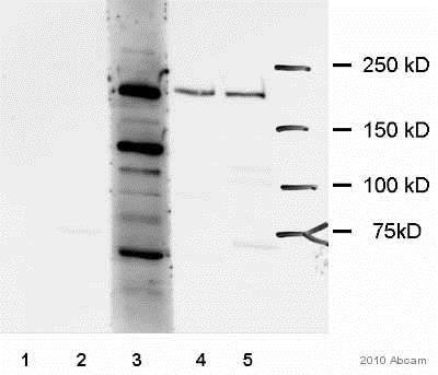Western blot - Anti-KALRN/DUET antibody (ab52012)