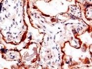 Immunohistochemistry (Frozen sections) - Anti-PAPP A antibody [9] (ab52030)