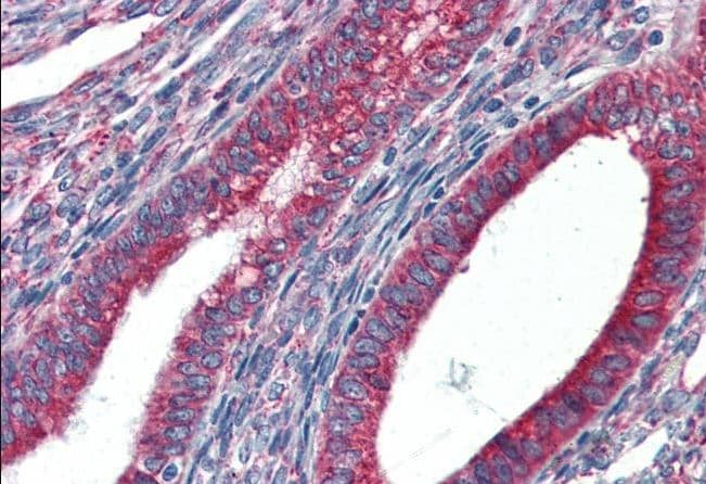 Immunohistochemistry (Formalin/PFA-fixed paraffin-embedded sections) - Anti-GRP94 antibody (ab52031)
