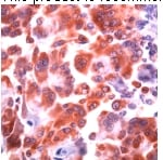 Immunohistochemistry (Formalin/PFA-fixed paraffin-embedded sections) - Anti-COX1 / Cyclooxygenase 1 antibody (ab52037)